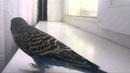 Пение волнистого попугая Kevina