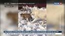 Новости на Россия 24 • Среднеазиатская овчарка взяла под свою опеку детеныша персидского леопарда