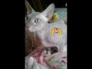 Кошка моя лысенькая