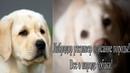 Лабрадор ретривер описание породы! Все о породе собаки!