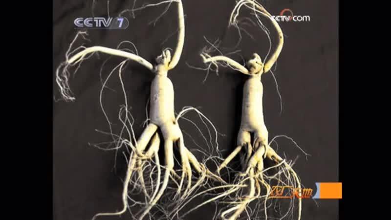 Жэньшэнь лат Panax ginseng Китайский женьшень пятилистный СиянШэнь Дикий женьшень ешаньшэнь Технология возделывани