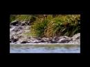 Стая гладкошерстных выдр и 2-ух метровый болотный крокодил по очереди шугают друг-друга