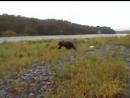 Медведи на рыбалке с отчаянными рыбаками