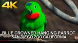 4K SAN DIEGO ZOO - Beautiful Small Green Parrot Birds Blue-crowned hanging parrot