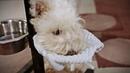 Как научить собаку вытирать морду после питья? (как выглядит навык)