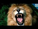 Лев напал на мужчину в сафари-парке