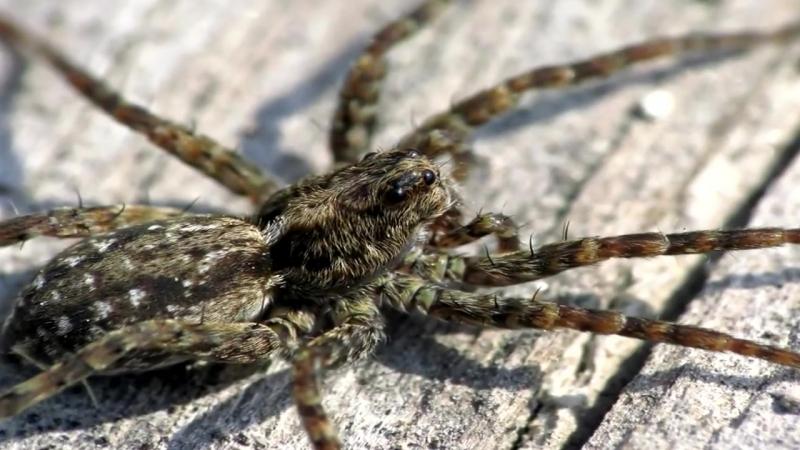 Найбільш отруйні павуки в світі-топ 10