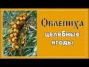 ОБЛЕПИХА Целебные ягоды