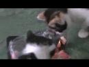 001_ха ха ха зажратый кот облизываеться а котята едять рыбу пророка сан боя
