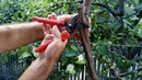 Формировка и обрезка рукавов на кустах винограда правило ручейка