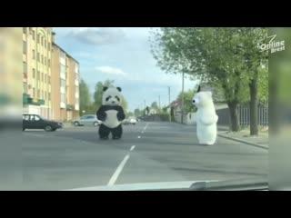 Панда и медведь гуляли сегодня в Бресте на ул. Сикорского