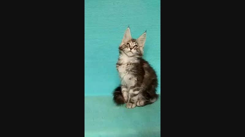 Vilmos (Вилмос) - кот, черный мрамор на серебре, д.р.03.12.18г.