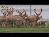 Теперь на воле: 47 оленей впервые выпустили в естественную среду обитания в провинции Цзянси.