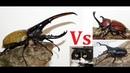Deadly battle Царь жуков Dynastes hercules hercules против всех