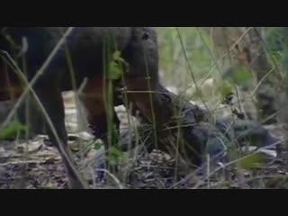 Комодский варан загоняет оленя