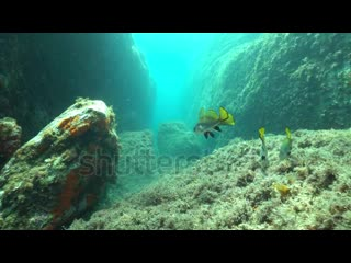 several-brown-meagre-fish-sciaena-umbra-underwater-on-a-rocky-bott