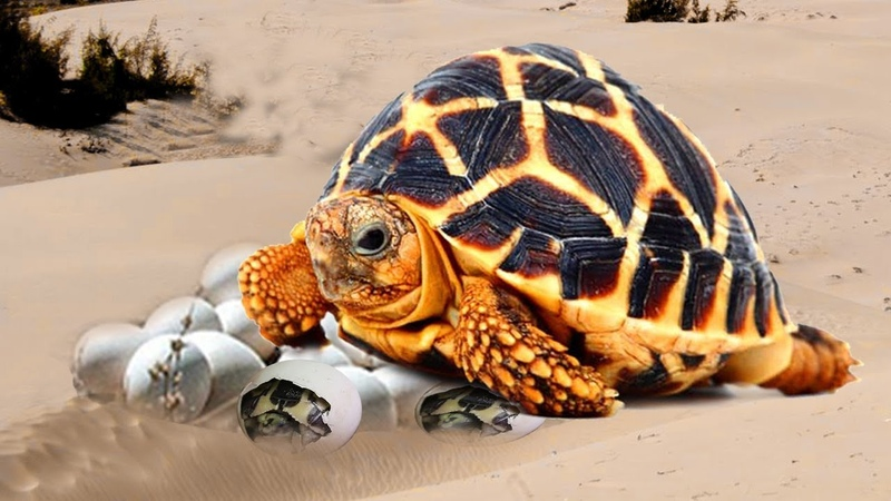 Indian Star Tortoise- Beauty turtle laying egg and baby hatching