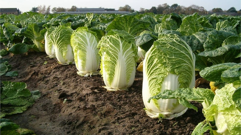 Beautiful Chinese Cabbage Farm and Harvest in Japan - Japan Agriculture Technology 47