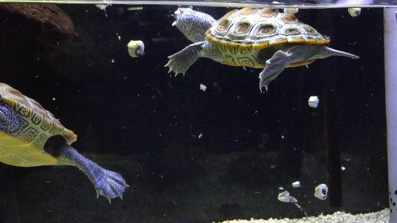 Malaclemys Terrapins eating fish