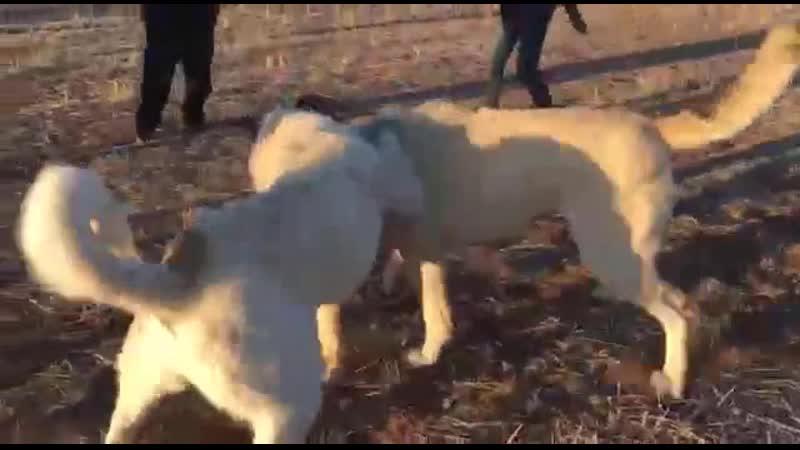 Nevşehirden Pars - Yozgattan Katil Ala