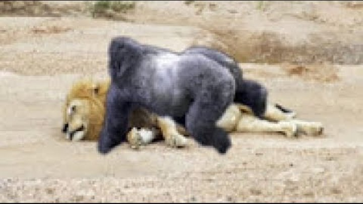 GORILLA VS LION ► Baboon Vs Leopard - Monkey Vs Crocodile (REAL FIGHT)