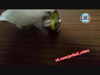 Хозяйка дала попугаю брокколи на обед