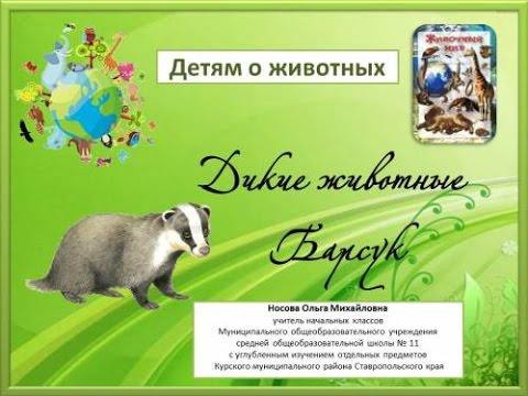 Животный мир нашей планеты. Барсук