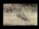 Обезьяны убегают на кабане Неуловимые мстители