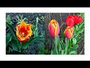 Впервые выращивание тюльпанов из семян Замачивание проращивание