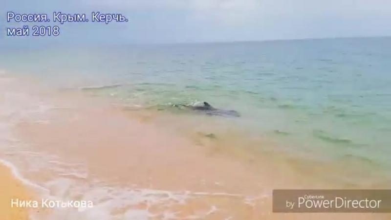 У самой кромки воды: дельфин резвится возле крымского берега