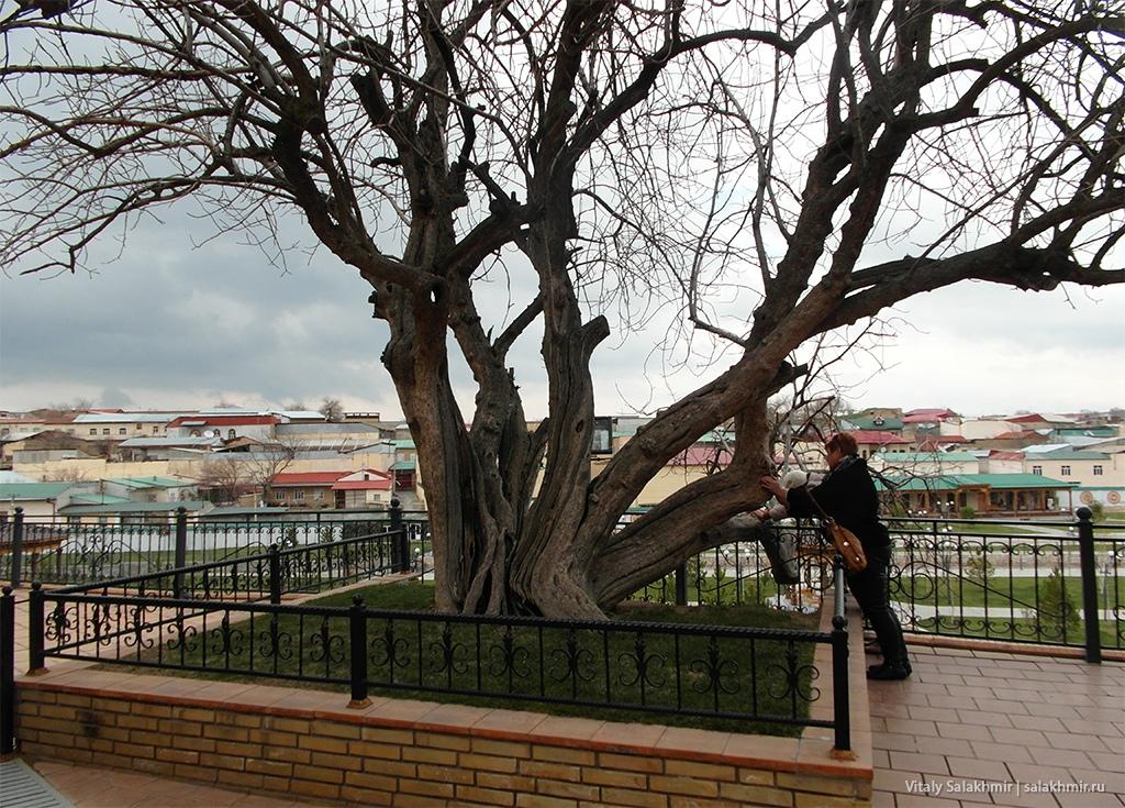 Фисташковое дерево, мавзолей Ходжа Дониер, Самарканд 2019