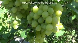 Сорта винограда 2018. Тянь Шань - лучший сорт Японии и Китая для наших участков