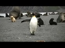 King Penguin Harassed by Fur Seal Pups on S. Georgia