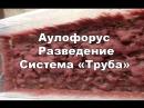 Аулофорус разведение в проточной системе Труба