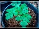 Арбузы рассадой