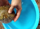 When there is danger of an amazing puffer fish Tetraodontidae