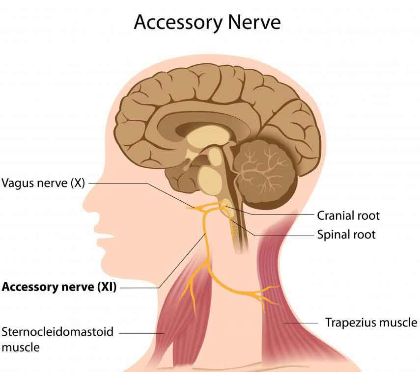 Диаграмма, показывающая блуждающий нерв.