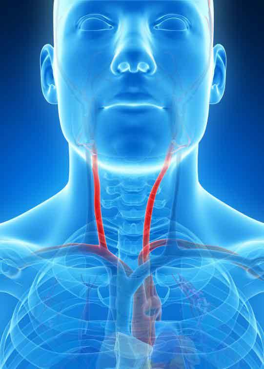 Нервная блуждающая нить продолжается между сонной артерией и яремной веной в сонной оболочке.