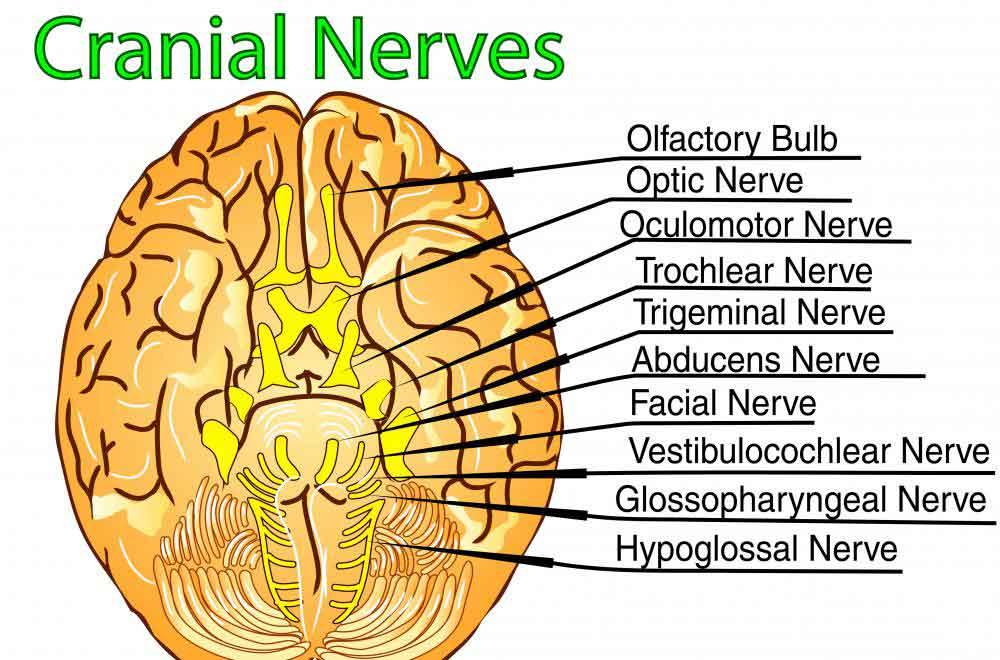 Блуждающий нерв является десятым черепным нервом.