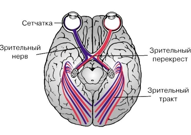 Внутри отдельной группы нервных волокон могут присутствовать как моторные, так и сенсорные нейроны.