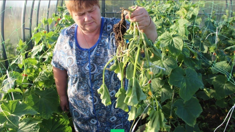 Во саду ли в огороде • Вырвите Это Немедленно, Если Хотите Сберечь Урожай! Прикорневая Гниль.