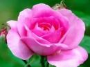 нежная песня поздравления с днем рождения и много роз!!.mp4