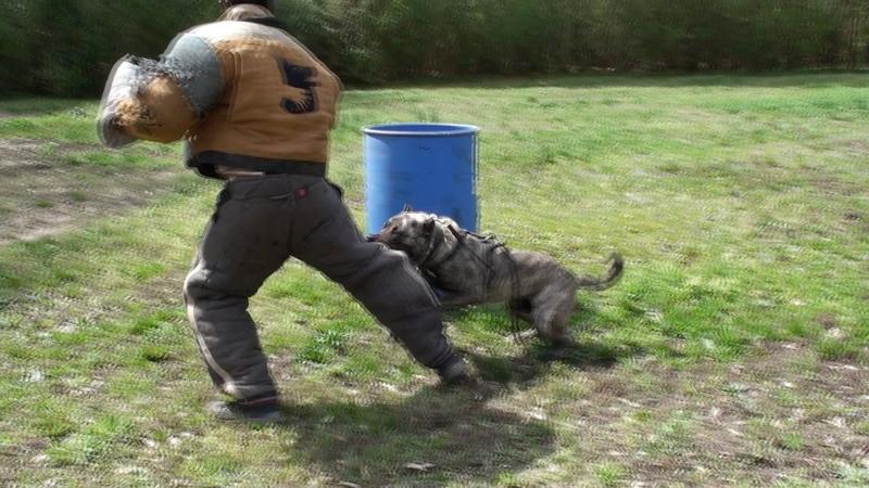 Presa Canario Security dog in training !