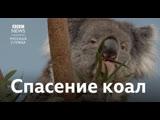 В Британии хотят создать запасную популяцию коал