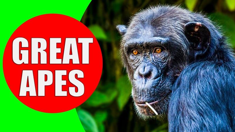 THE GREAT APES Gorillas Orangutans Chimpanzees and Bonobo Apes Ape Monkey Ape Sounds