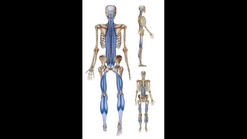 Анатомические поезда Т.Маерса - Поверхностная задняя линия