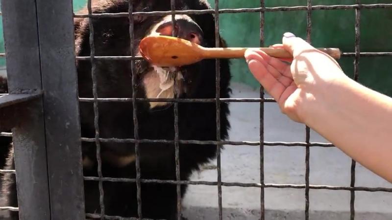 Медведь Фима лакомится вареньем.(Самарские медведи). Тайган.Крым