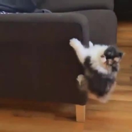 Spider Cat coub