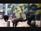 Cheeky baby gorilla demands attention from his big brother at a Danish zoo