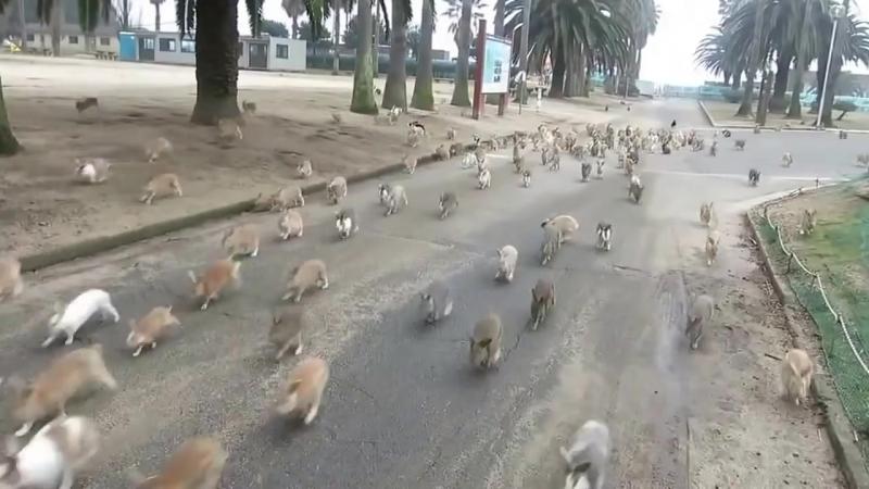 Кролики острова Окуносима